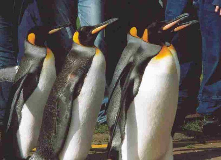 Olyan hideg van Kanadában, hogy a pingvineket sem engedték ki