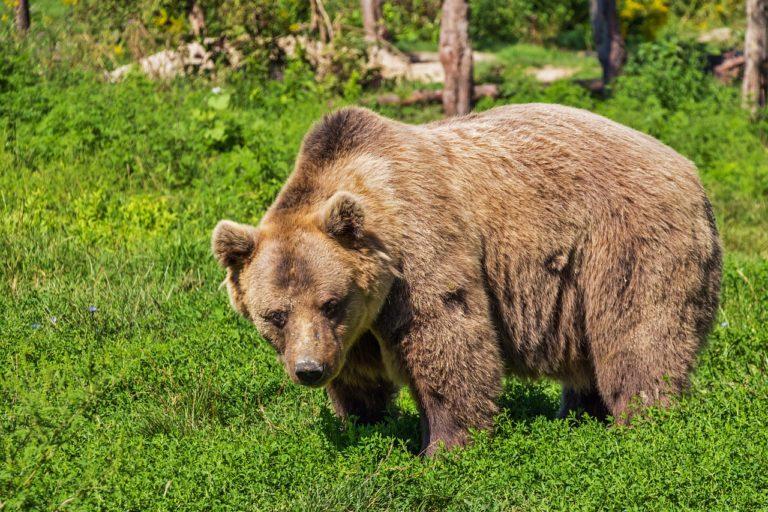 Megölte egy medve a gondozóját