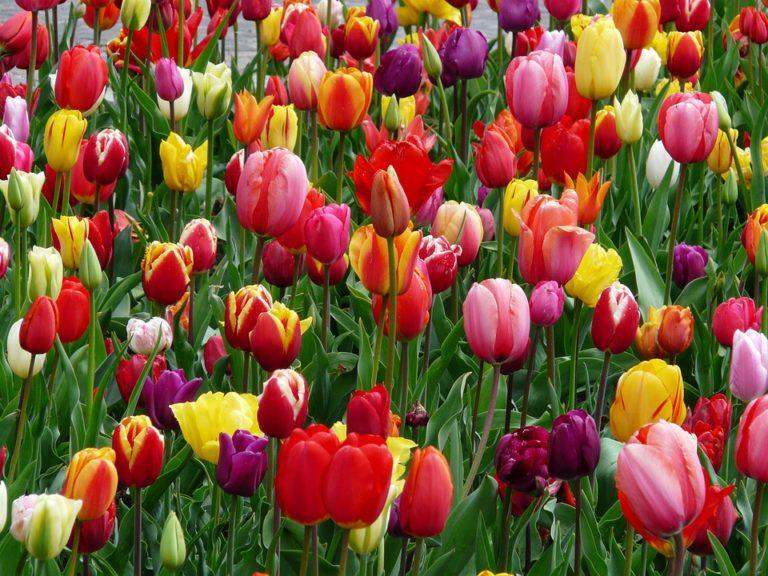 A tulipán ötven árnyalata
