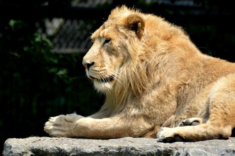 """""""Az oroszlán oroszlánokkal akar játszani"""""""