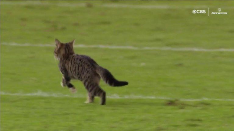 Egy macska is a pályára került az NFL-ben