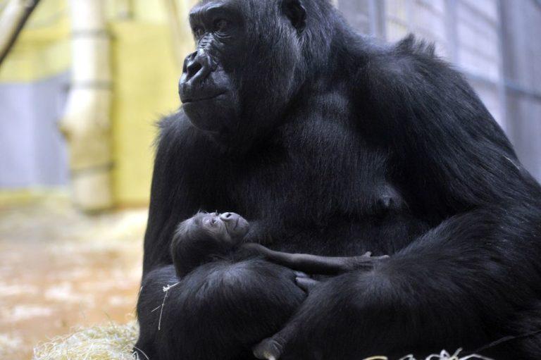 Bunkókáim, ne kopogtassátok a gorillákat!