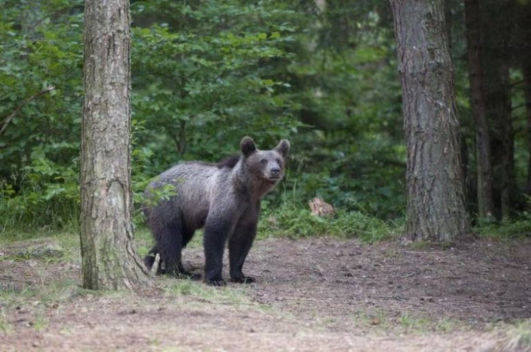 A tusnádfürdői medvék nem kellenek Európának